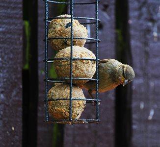 Sparrow feeding