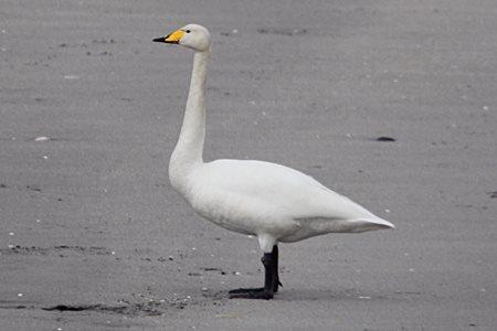 Whooper Swan (Cygnus cygnus)  ALB3