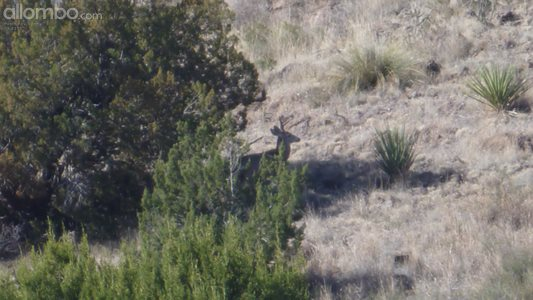Mule deer hiding near a bush