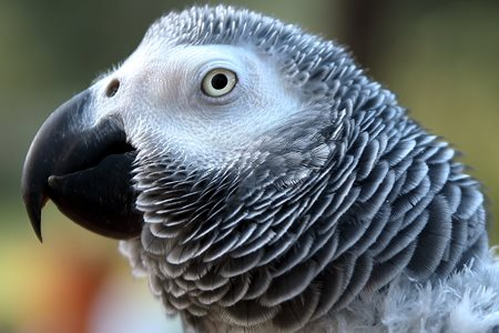 Poppy African grey