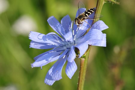 hoverfly on a chicory flower