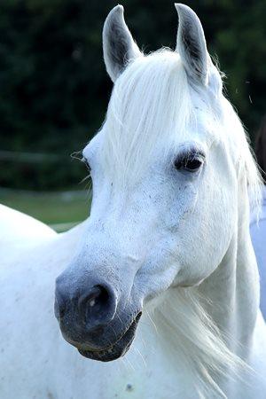 Sparky my 25 year old Arabian