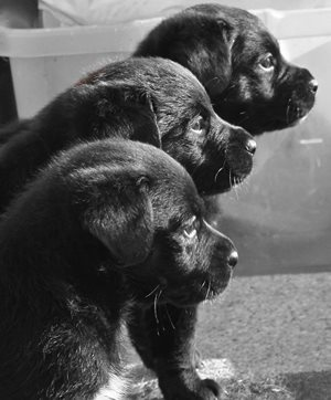 foster pups, hard to give them back...