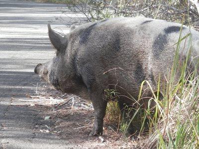 Caution, pig crossing