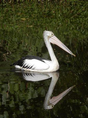 Double Pelican