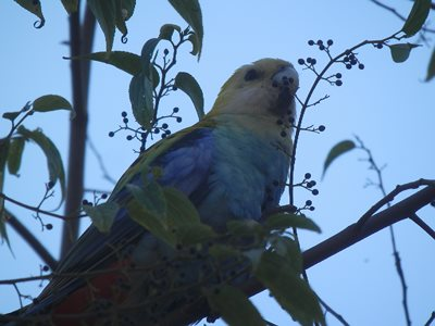 Pale Headed Rosella