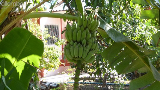 The bananas are almost ripe and ready to be picked. :)