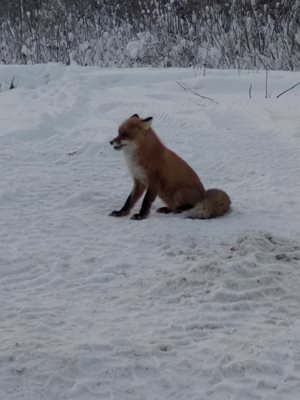 Tundra. 30 km from my place of residence, the fox became alert
