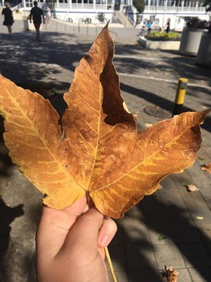Maple leaf, a symbol of Canada
