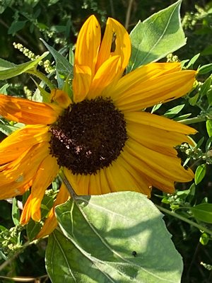 One of my Sun Flowers has blossomed