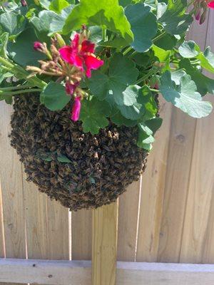 Resting honey bees