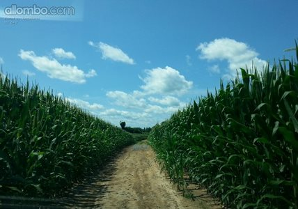 Lost in the middle of a huge cornfield.